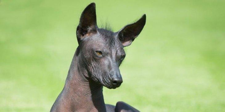 rare dog breeds Peruvian Inca Orchid