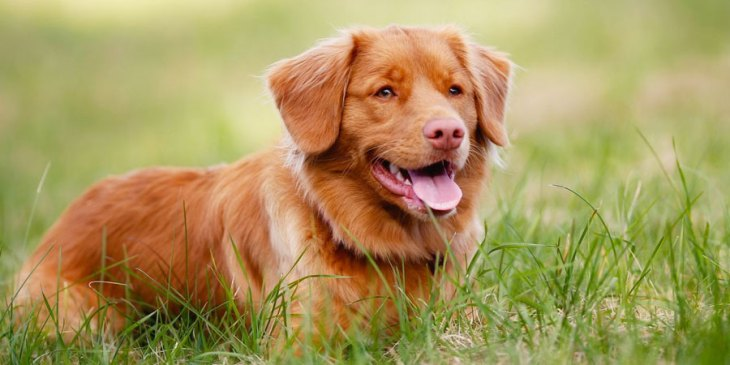 rare dog breeds nova scotia duck tolling retriever
