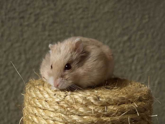 small-hamster