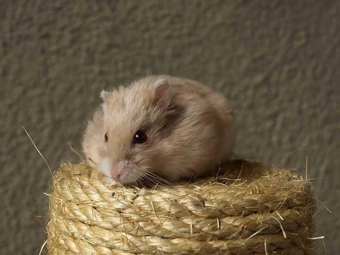 small-hamster