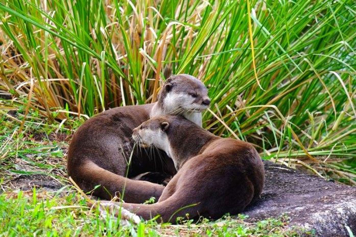 otter-singapore-bishan-park1