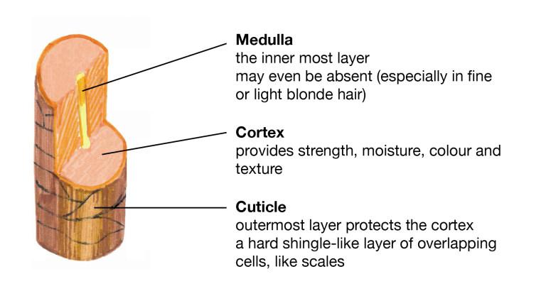 Understanding Hair Structure - Lush Fresh Handmade Cosmetics UK