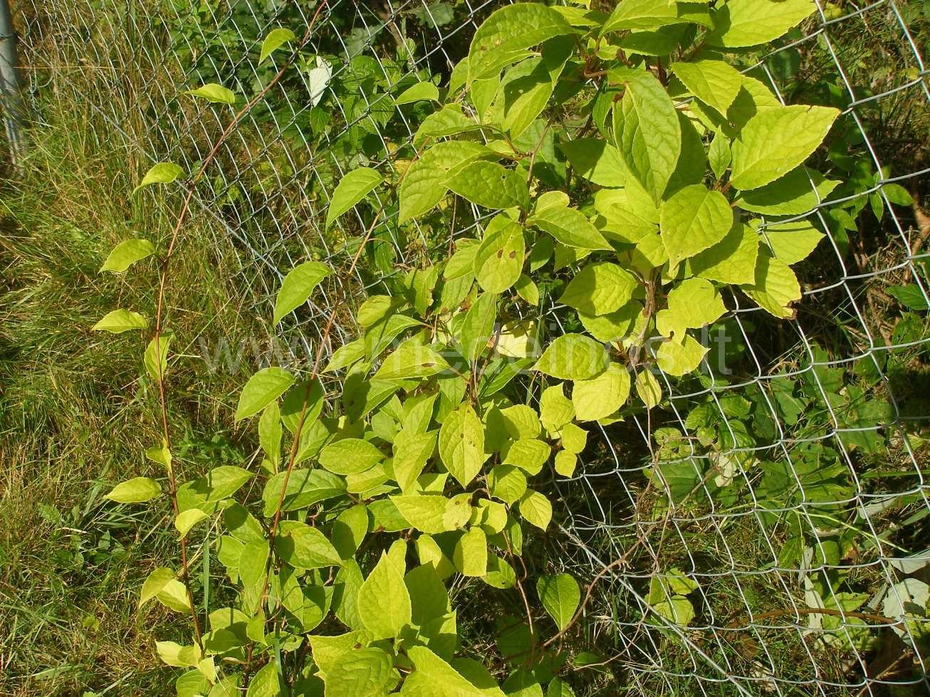 Kininis citrinvytis (Schisandra chinensis) - Medeinos ...