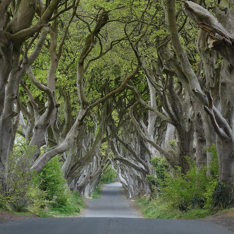 Den skumle Dark Hedges-tunnelen nær Armoy, County Antrim. Foto: Colin Park – Wikimedia Commons / CC BY-SA 2.0