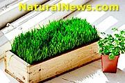 Wheatgrass and Parsley