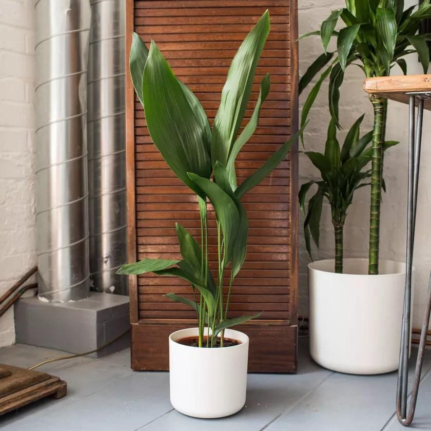 Aspidistra Plants Patch