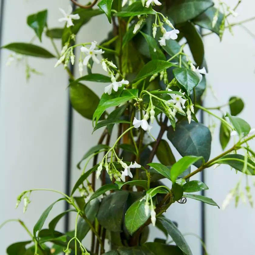 Climbing Jasmine Plants Patch
