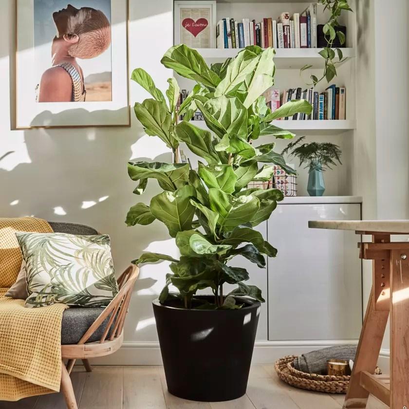 Ficus Lyrata Plants Patch