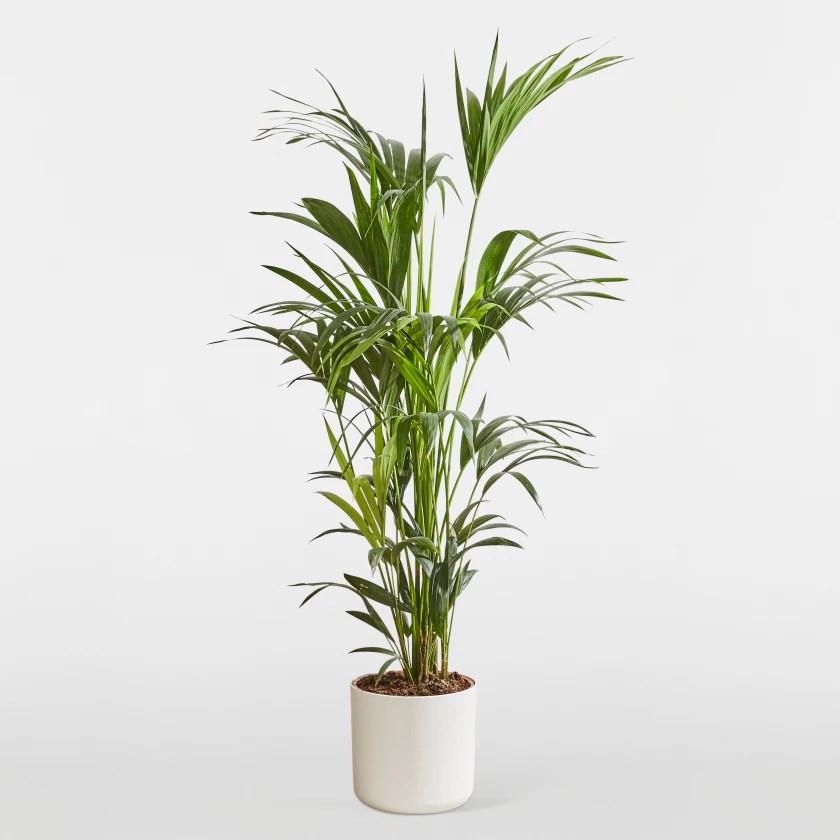 Kentia Palm Plants Patch