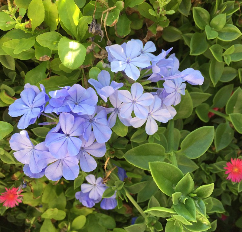 Plumbago + Asparagus Fern / Red Wolf