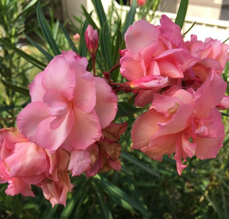 Frangipani + Oleander + Rose / Red Wolf