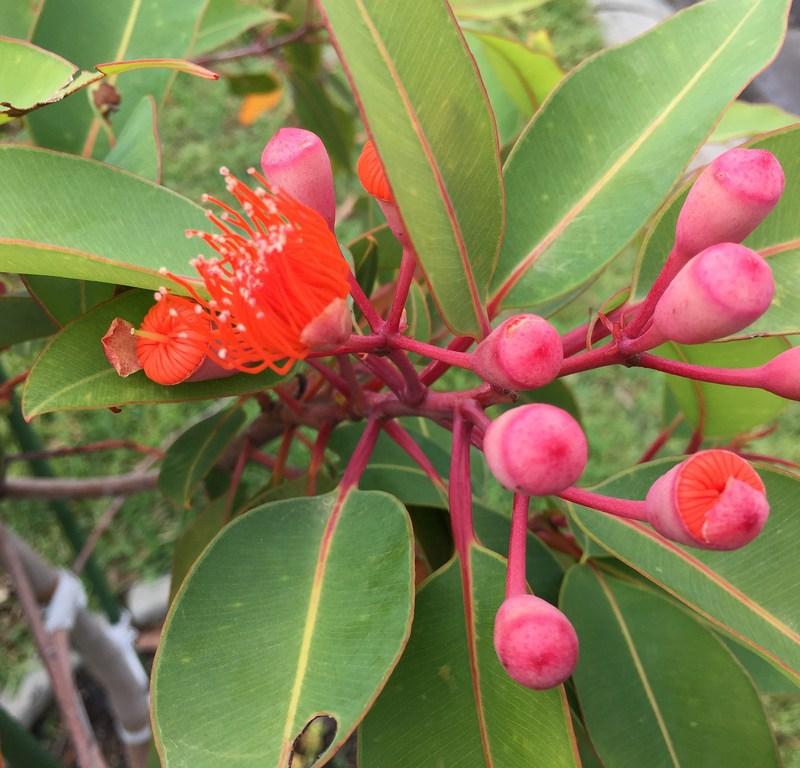 Orange flowering gum (Corymbia ficifolia) / Red Wolf