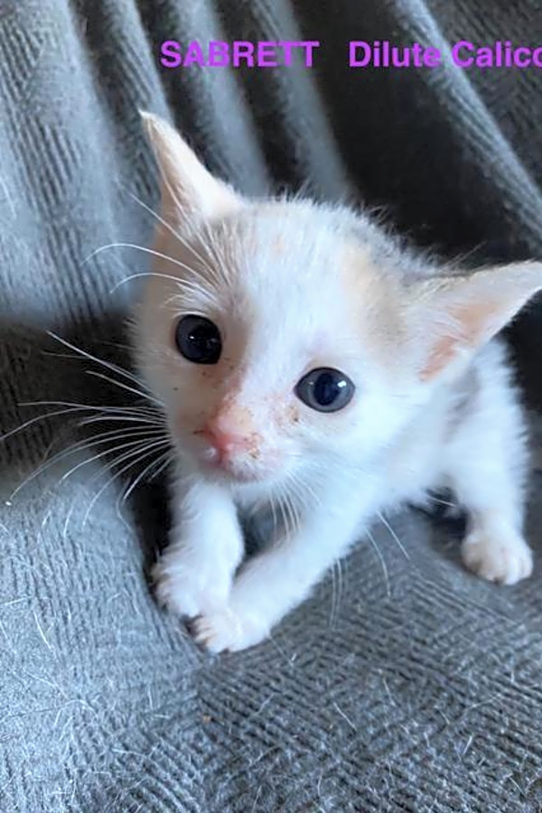 Calico Kittens For Sale Near Me : calico, kittens, These, Orlando-based, Kittens, Adoption