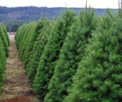 u cut christmas trees portland oregon
