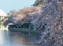 Cherry Blossom Festival Washington Dc 2018 - Life Style By ...