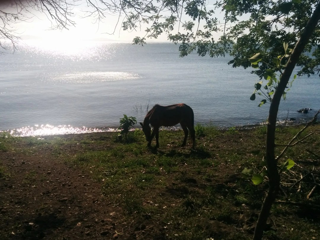 Horses graze along the beach