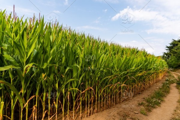 close of corn field in countryside