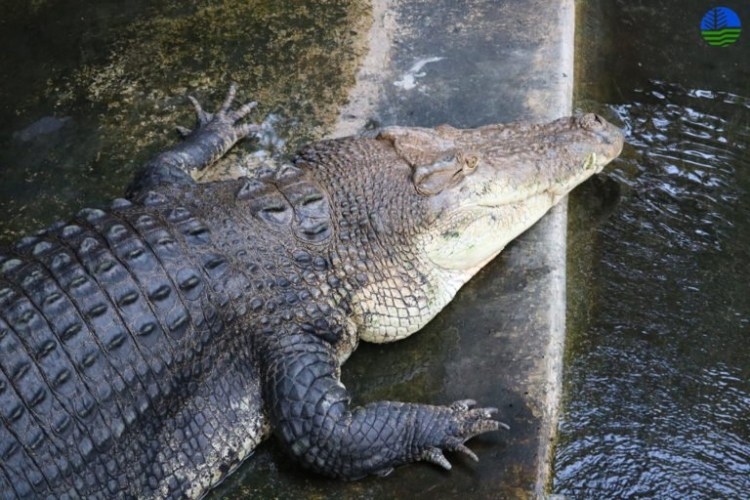 As humans close in on their habitat, crocodiles in the Philippines snap back