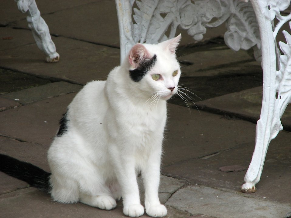 Cat Free Stock Photo White And Black Cat Sitting By A