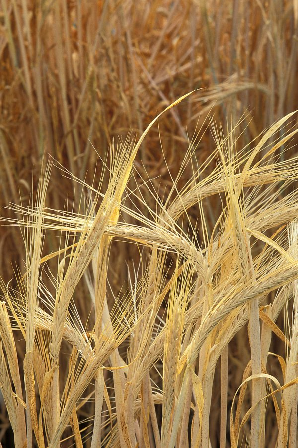 Barley Free Stock Close- Of Growing In