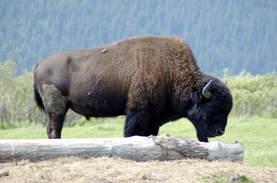Abstract Animal Wallpaper Bison Free Stock Photo Close Up Of A Bison 17271