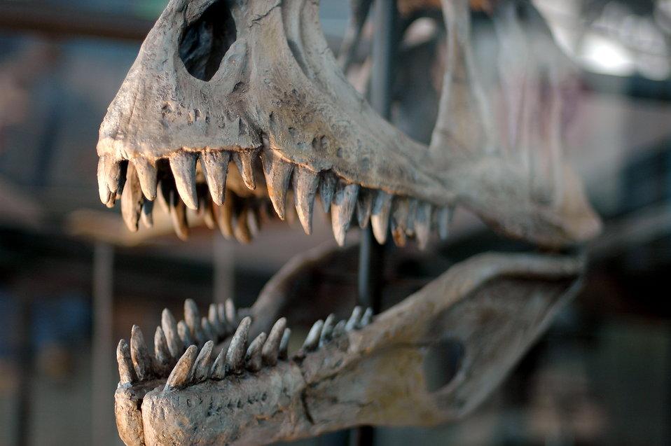 Dinosaur Free Stock Photo Dinosaur Skull 17808
