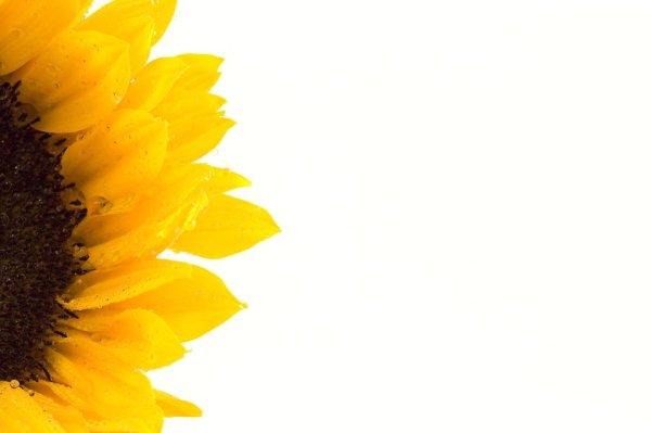 sunflower free stock