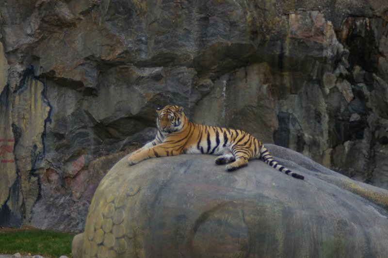 Tiger  Free Stock Photo  A Siberian tiger lying on a