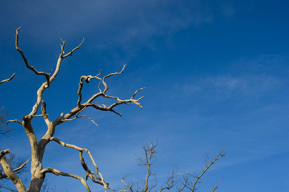 Tree  Free Stock Photo  A tree with dead branches   8118
