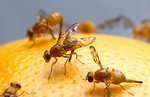 Free Stock Photo: Close-up of Mexican fruit flies on a grapefruit