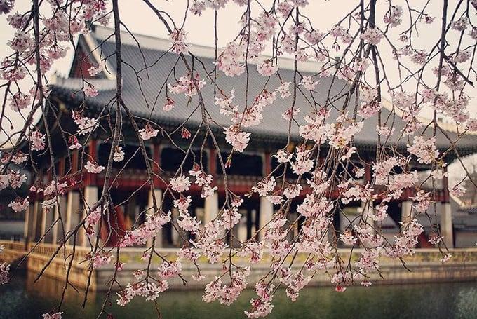 cung điện gyeongbok là một địa điểm ngắm hoa anh đào