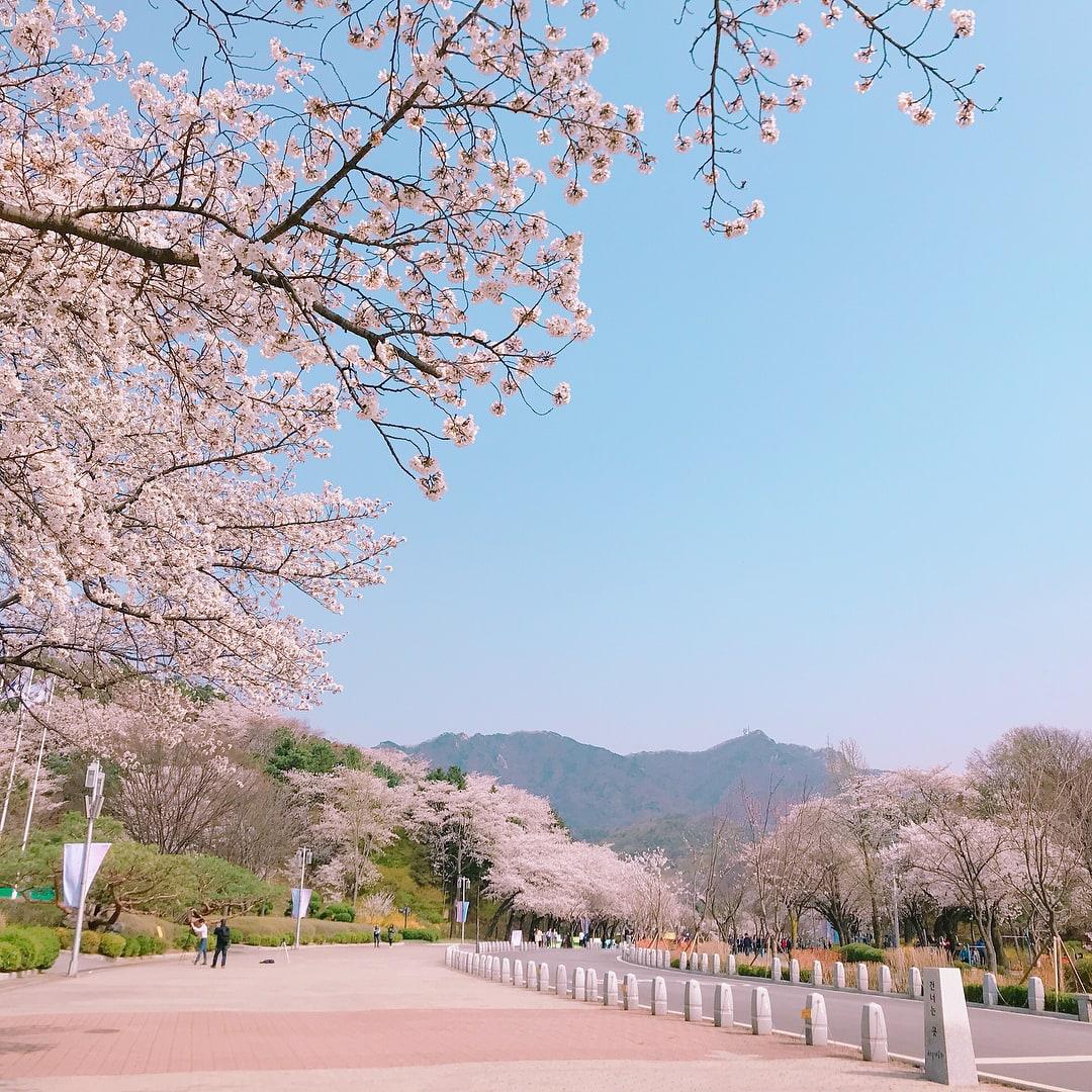 【2019櫻花季】迎接粉色森林!5個必去韓國大邱櫻花季賞櫻景點 - Klook Travel Blog