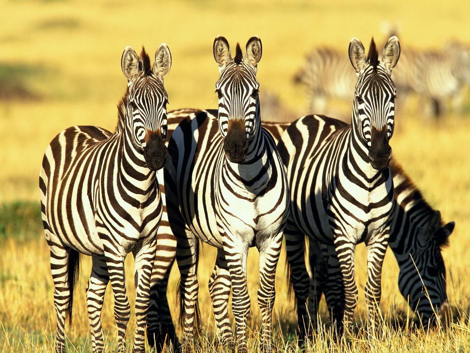 The Zebras Fifth Grade