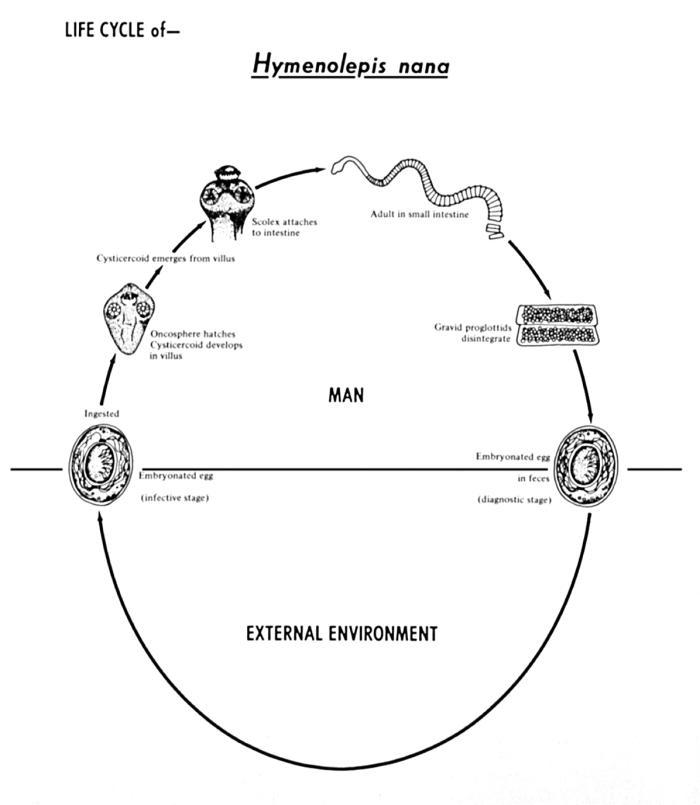 Lion Life Cycle Diagram