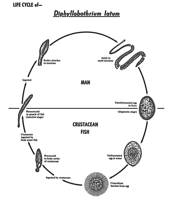 human life cycle stages diagram solar controller wiring panel charge anonymerfo public domain picture this depicts the various in of tapeworm diphyllobothrium latum