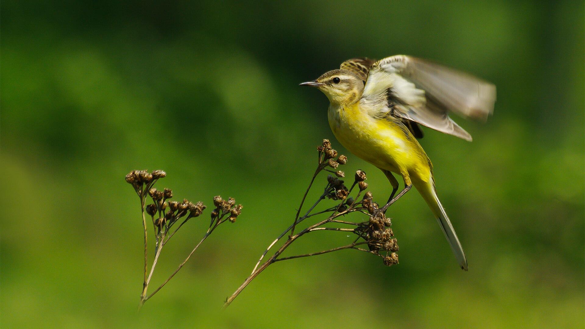 Pliszka żółta, wolarka (Motacilla flava)