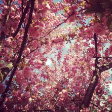 Cotton Candy Cherry Blossoms
