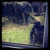 Gorilla doin' gorilla things