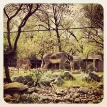 Zoo Zebra April 2013