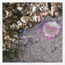Perfect pink anemone