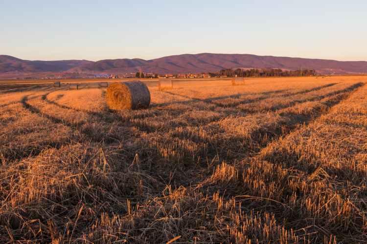 hay field under clear sky
