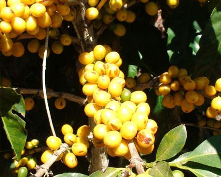 El Salvador Marina Cumbre Lavado Coffee