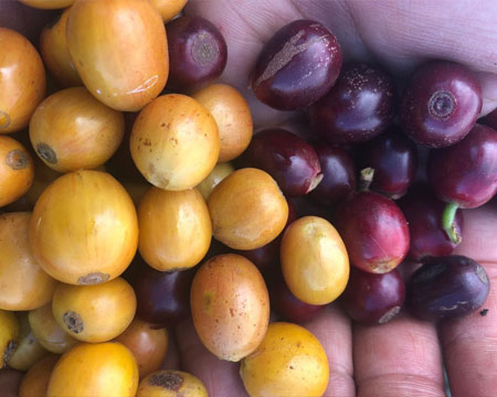 Honduras Single Origin Coffee