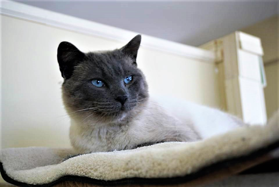 Siamese cross Blue point Male - neutered Date of birth: February 2017 Atticus is another strong personality at Rescue Siamese. He is confident an curious, and loves all the attention he gets from the Rescue Siamese volunteers--he sure can purr up a storm! Atticus much prefers the company of humans to cats; so he would prefer a home where he'd be the only pet. If you would like to meet his wonderful boy, you can meet him at the Rescue Siamese store location at 38 Barberry Road.