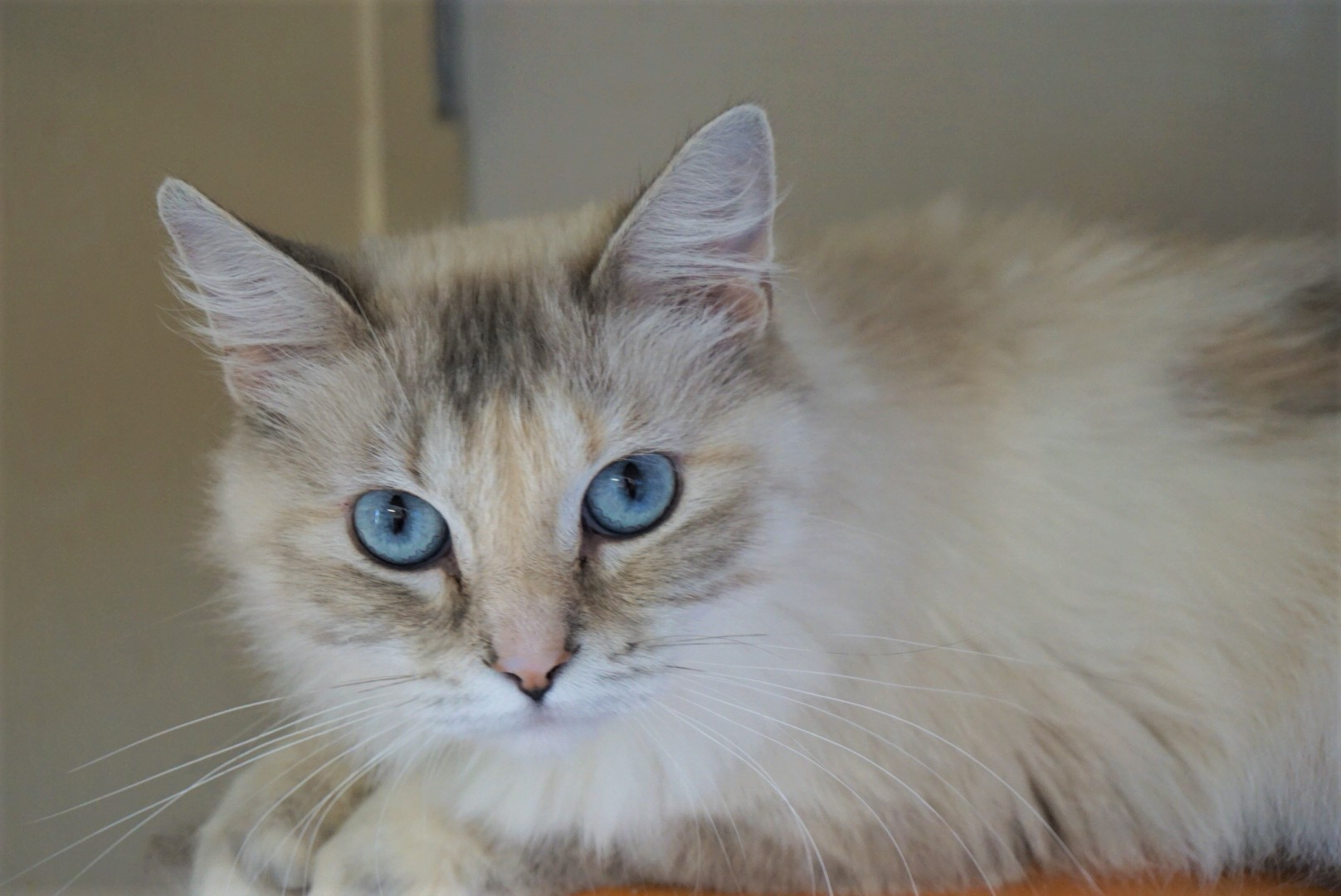 Siamese Cross Dilute tortoise shell - Long Hair Female - spayed Date of birth: February 2015 Meet Cotton! This lovely gal is easy-going and sweet. While she doesn't mind being brushed, she much prefers being pet and getting her head scratched. Cotton would do very well in a home with other mild-mannered cats, or as a single pet. If you would like to meet this beautiful girl, you can visit Cotton at Pet Valu on Meadowood, during regular store hours.