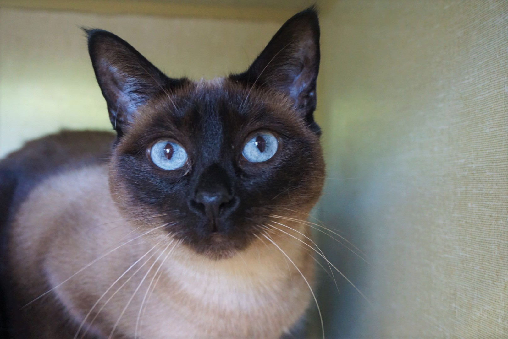 *MUST GO AS A PAIR WITH TBEAU* Siamese Cross Seal Point Female - Spayed Date of birth: May 2015 Tbeau and TC are here to double your fun! This pair is the perfect balance of sweetness and personality. Tbeau is more of the strong silent type, he hangs back a little bit but enjoys being petted and brushed and won't say no to a treat! TC is a sweetie with a dash of sass, she will let you know when you're not paying enough attention to her AND when she's had enough! Both like to play and seem especially fond of a feathery string toy. You'll be glad you added this duo to your family! 😽😽 They must be adopted as a pair. Their adoption fee is $180.00. If you would like to meet this dynamic duo, you can visit TC and TBeau at the Rescue Siamese adoption centre at 38 Barberry Road, during regular store hours.