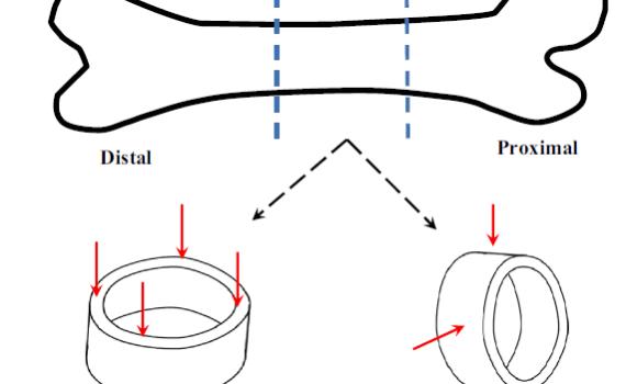 Cortical bone – Active Life Scientific, Inc.