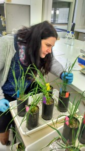 Dr Hanna Susi examining plants to characterize fungal pathogens and plant health