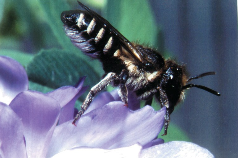 A black coloured bee with gold stripes on tail section sitting on a purple petal.