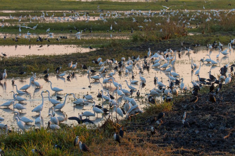 A large number of birds in a wetlands in Northern Australia.